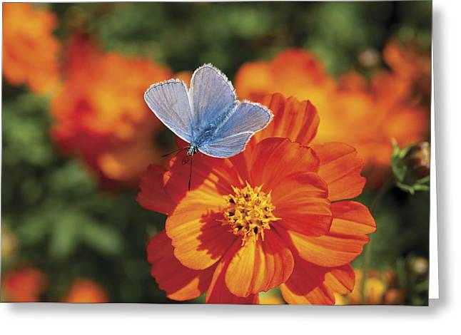 Greeting Card featuring the photograph Common Blue Butterfly by Lana Enderle