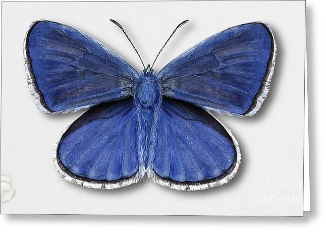 Common Blue Butterfly - Polyommatus Icarus Butterfly Naturalistic Painting - Nettersheim Eifel Greeting Card by Urft Valley Art