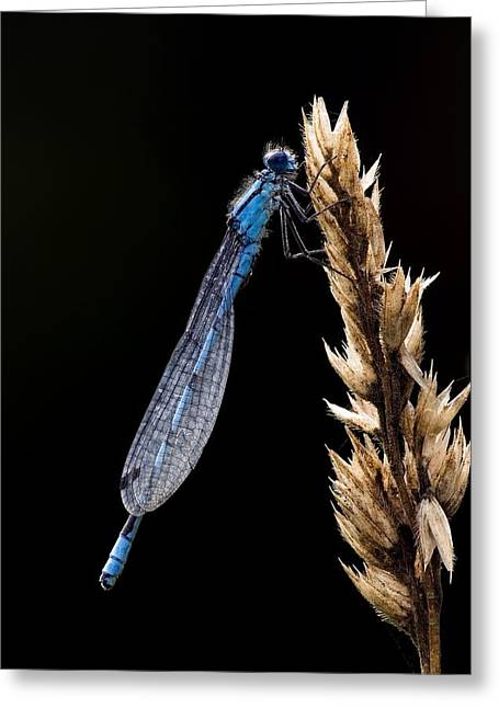 Common Blue Damselfly Greeting Card by Science Photo Library
