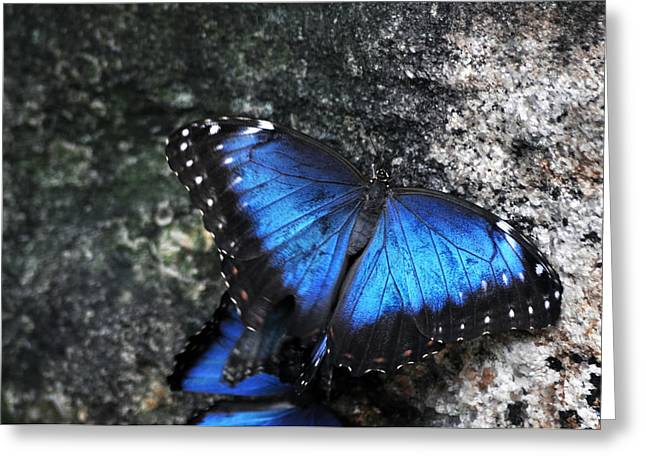 Common Blue Morpho Greeting Card by Ginger Harris