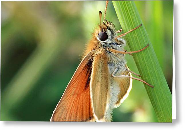 Common Branded Skipper Greeting Card by David Simons