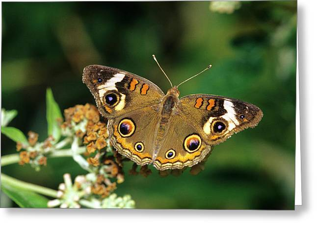 Common Buckeye Butterfly (junonia Coenia Greeting Card by Richard and Susan Day