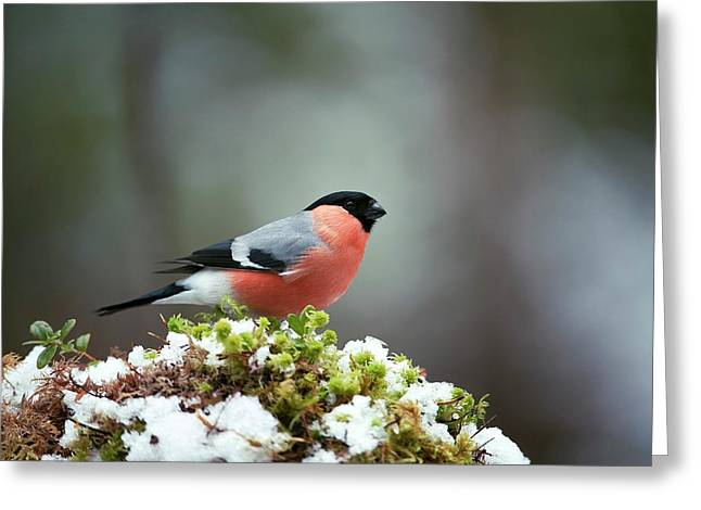 Common Bullfinch Greeting Card by Dr P. Marazzi/science Photo Library