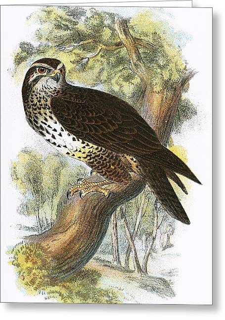 Common Buzzard Greeting Card by English School