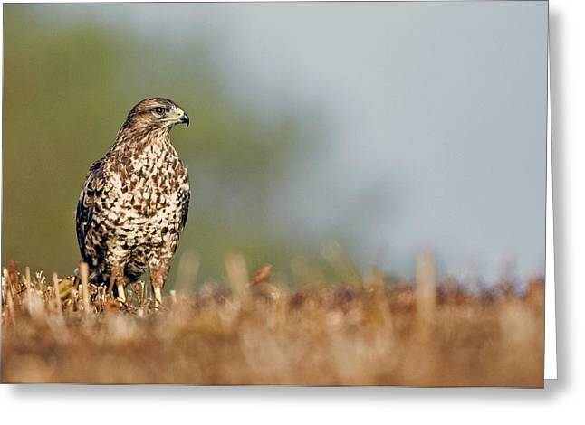 Greeting Card featuring the photograph Common Buzzard by Paul Scoullar