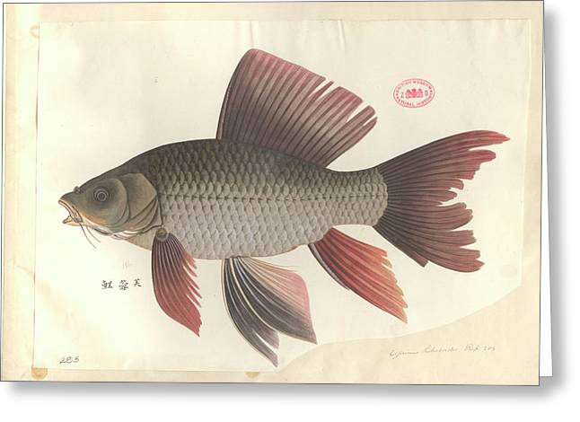 Common Carp Greeting Card