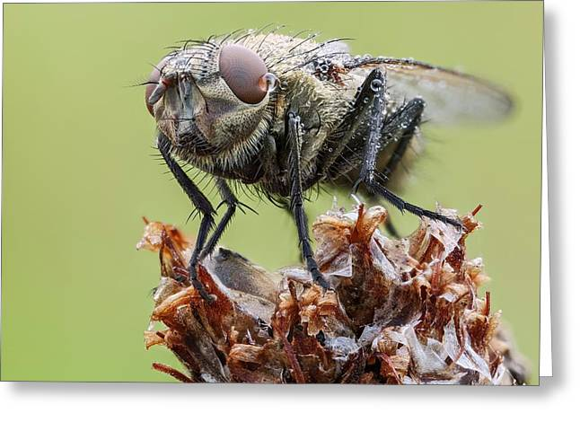 Common Cluster Fly Greeting Card by Heath Mcdonald