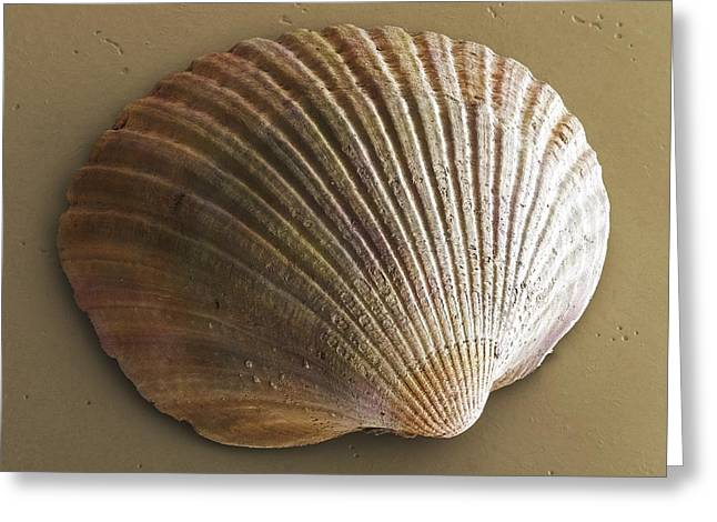 Common Cockle (bivalve) Shell Sem Greeting Card