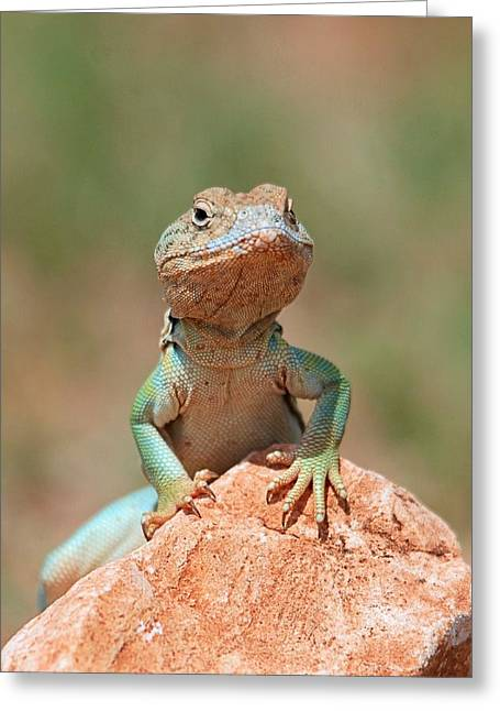 Common Collared Lizard 2 Greeting Card by Elizabeth Budd