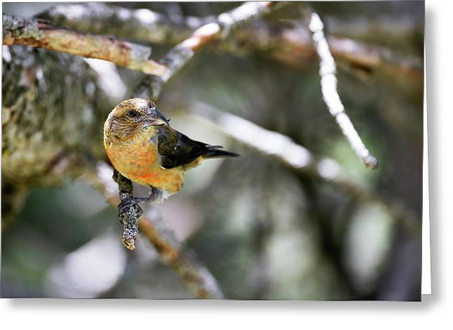 Common Crossbill Female Greeting Card