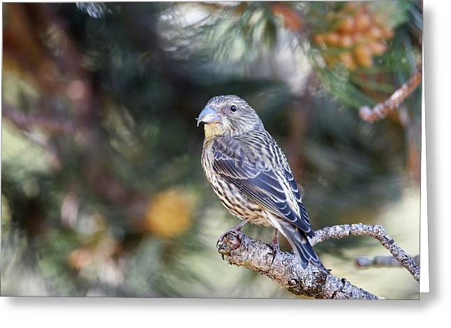 Common Crossbill Juvenile Greeting Card