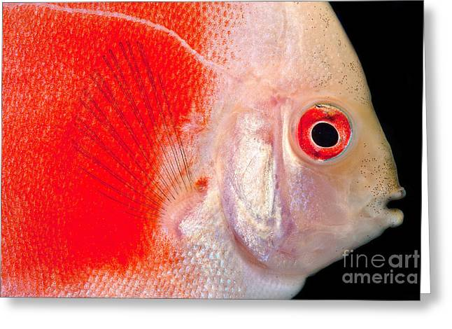 Common Discus Greeting Card by Dante Fenolio