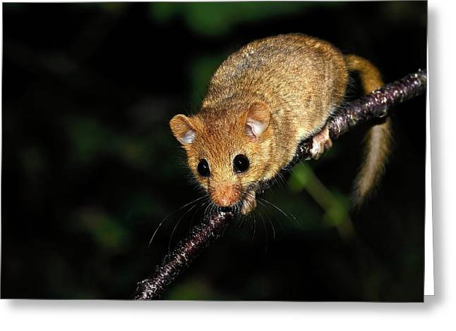 Common Dormouse Greeting Card