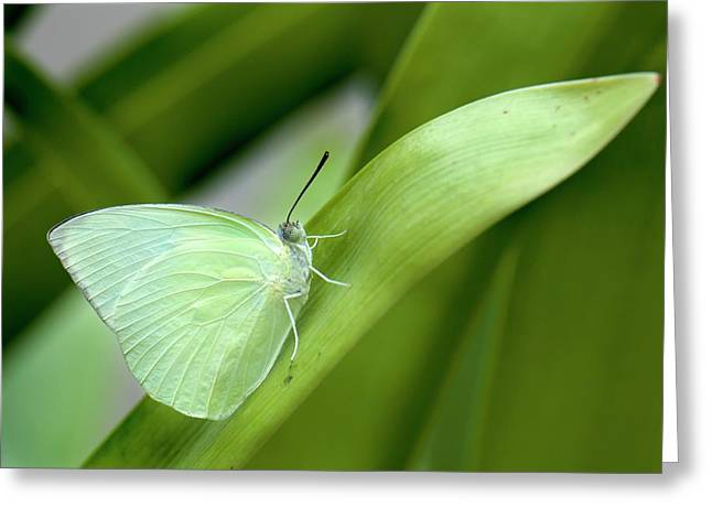 Common Emigrant Butterfly Greeting Card by K Jayaram