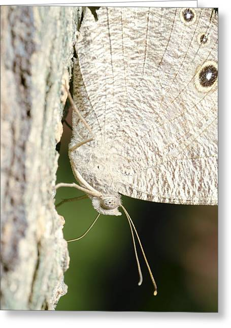 Common Evening Brown Butterfly Greeting Card by Science Photo Library