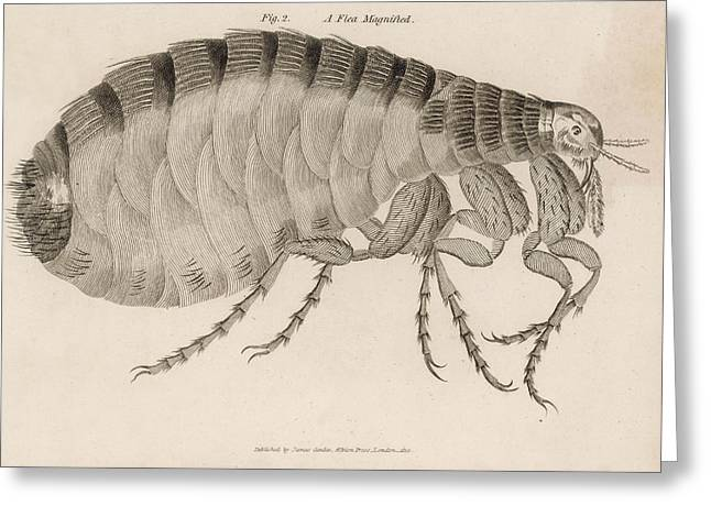 Common Flea (pulex)           Date 1810 Greeting Card by Mary Evans Picture Library