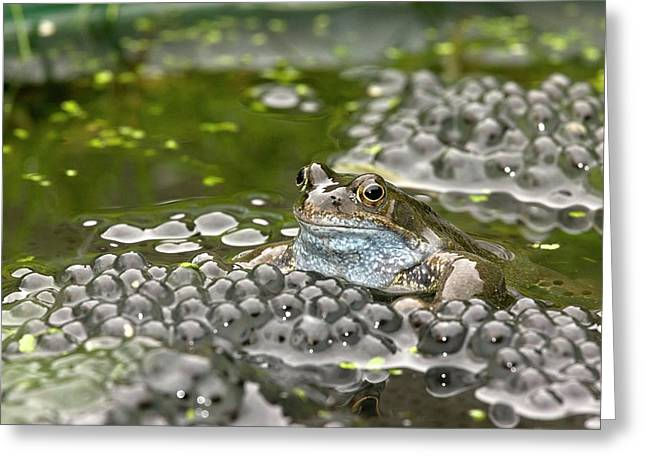 Common Frog And Frogspawn Greeting Card