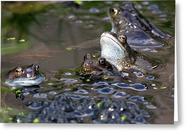 Common Frogs Mating Amongst Frogspawn Greeting Card by Bob Gibbons