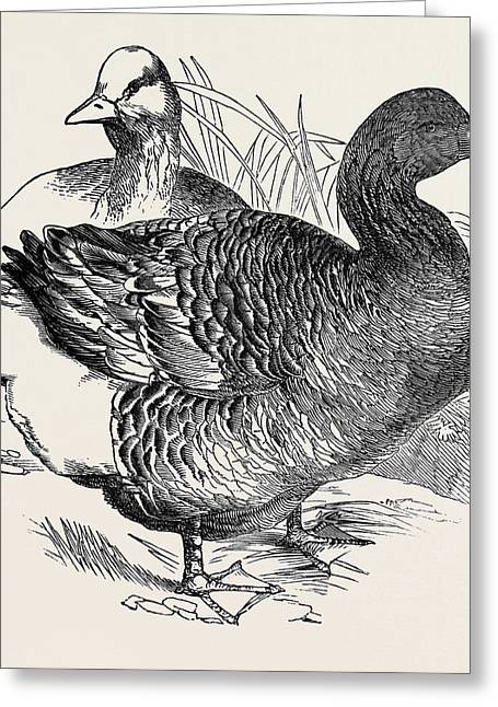 Common Goose, First Prize Mr Greeting Card