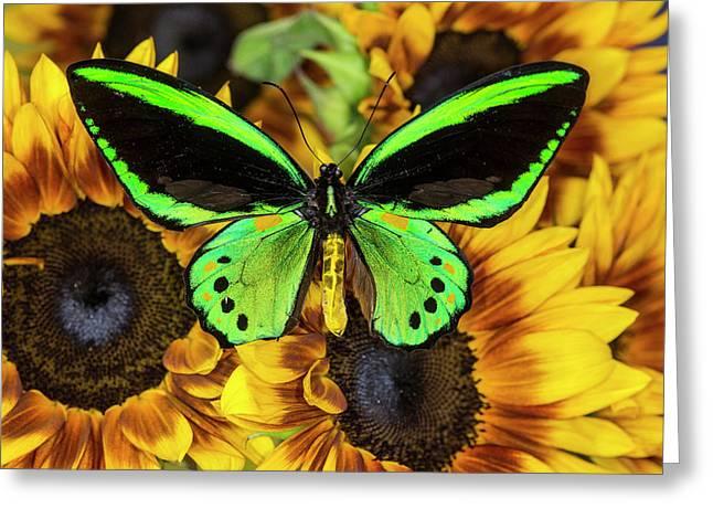 Common Green Birdwing Or The Priams Greeting Card