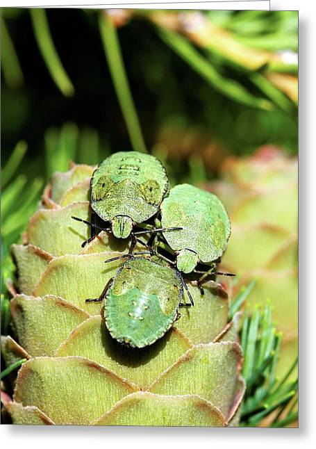 Common Green Shield Bugs Greeting Card