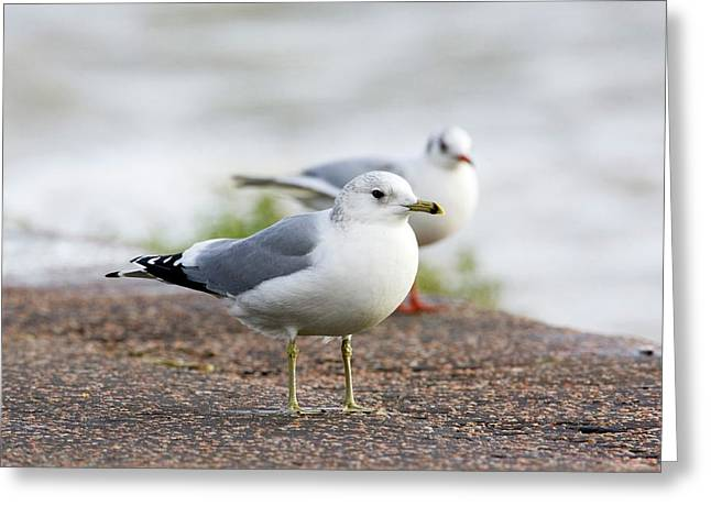 Common Gull And Black-headed Gull Greeting Card by John Devries/science Photo Library