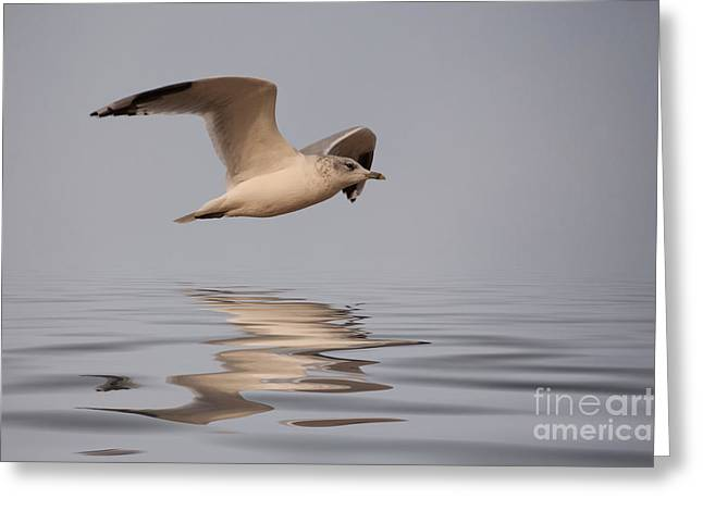 Common Gull Larus Canus In Flight Greeting Card by John Edwards