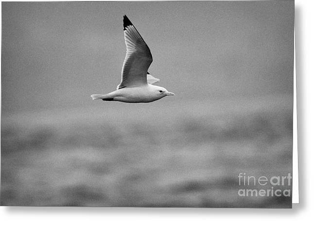 Common Gull Seagull In Flight Larus Canus Laridae On Atlantic Ocean Between Rathlin Island And Bally Greeting Card by Joe Fox