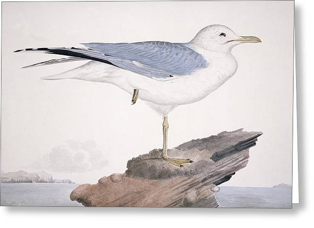 Common Gull,19th Century Artwork Greeting Card by Science Photo Library
