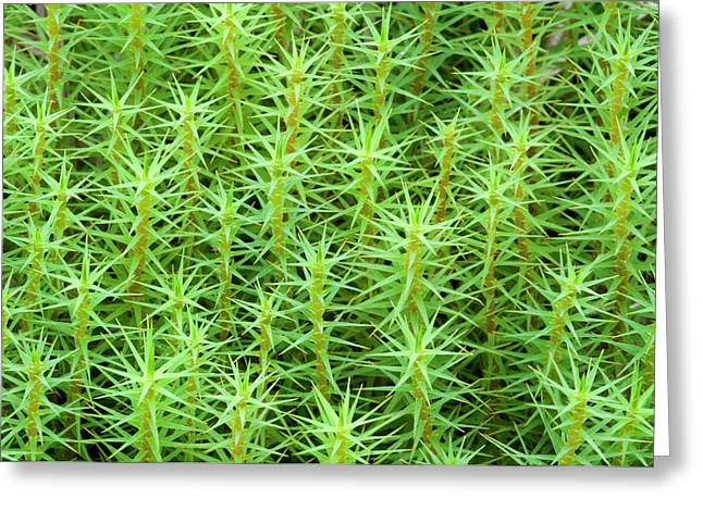 Common Hair-moss Greeting Card