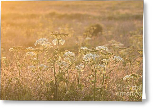 Common Hogweed Sunset Greeting Card by Anne Gilbert