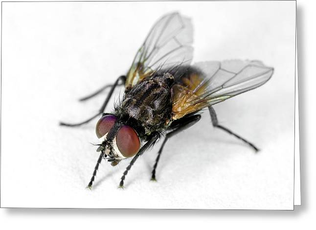 Common House Fly Greeting Card by Stephen Ausmus/us Department Of Agriculture