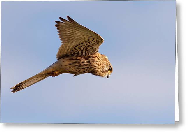 Common Kestrel Hovering In The Sky Greeting Card by Roeselien Raimond