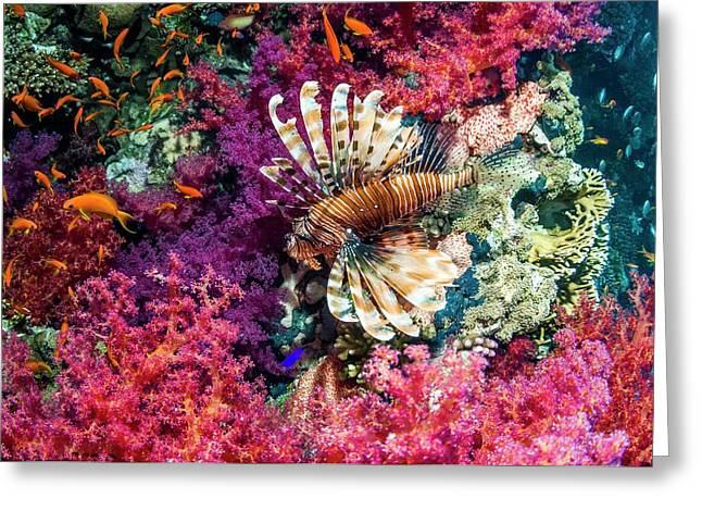 Common Lionfish Hunting A Reef Greeting Card