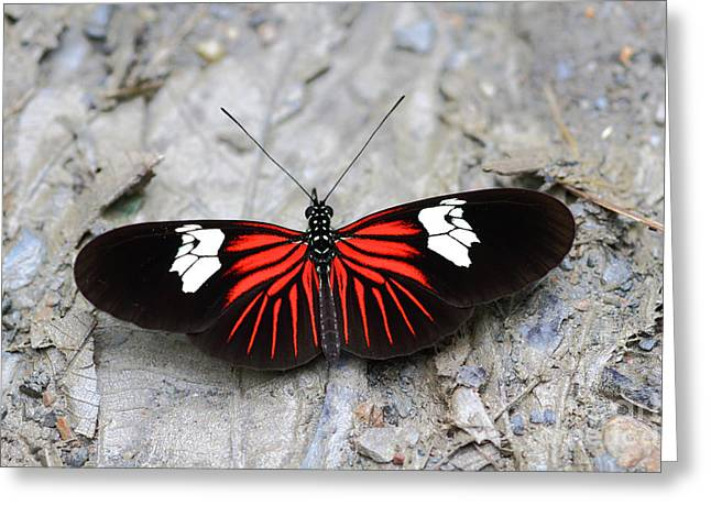 Common Longwing Butterfly Greeting Card by James Brunker