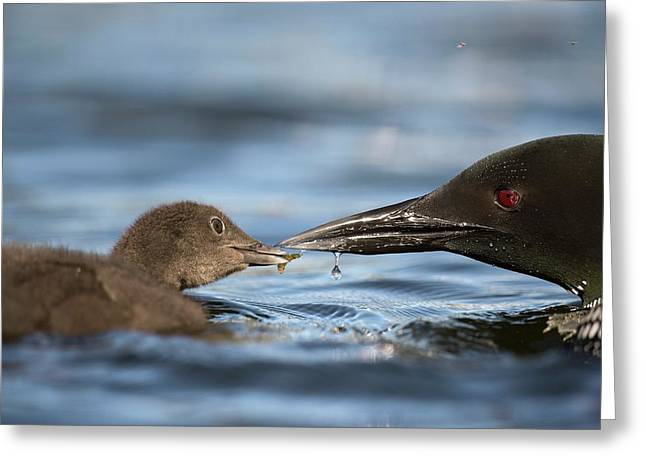 Common Loon Feeding Chick Greeting Card by Dr P. Marazzi
