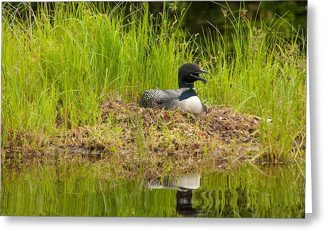 Greeting Card featuring the photograph Common Loon Nesting by Brenda Jacobs