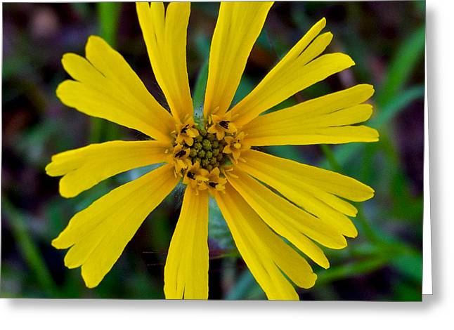 Common Madia In Park Sierra-ca Greeting Card by Ruth Hager