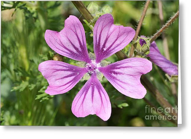 Common Mallow Flower Greeting Card by George Atsametakis