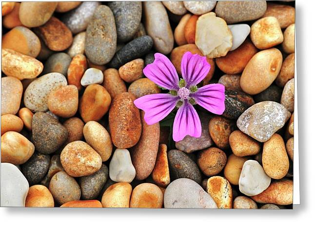 Common Mallow (malva Sylvestris) Flower Greeting Card by Colin Varndell