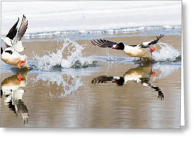 Common Merganser Flight Greeting Card by Bill Wakeley