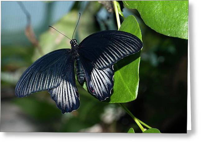 Common Mormon Butterfly Greeting Card by Dirk Wiersma