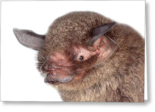 Common Mustached Bat Greeting Card