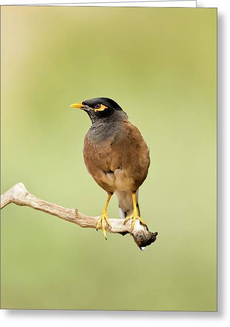 Common Myna Acridotheres Tristis Greeting Card by Photostock-israel