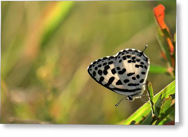 Common Pierrot Butterfly Greeting Card