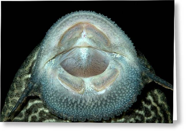 Common Pleco Or Suckermouth Catfish Greeting Card by Nigel Downer