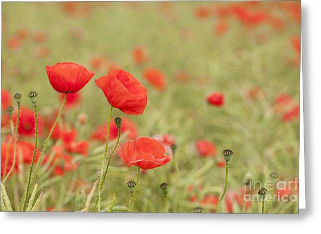 Common Poppies Greeting Card by Anne Gilbert