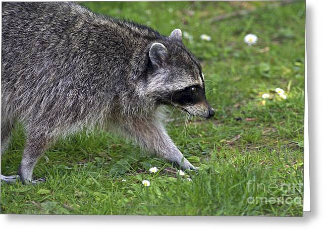 Common Raccoon Greeting Card by Sharon Talson