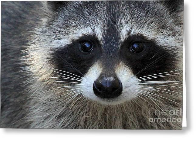 Common Raccoon Greeting Card