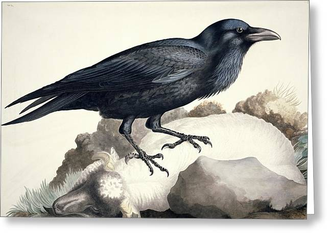 Common Raven, 19th Century Artwork Greeting Card by Science Photo Library
